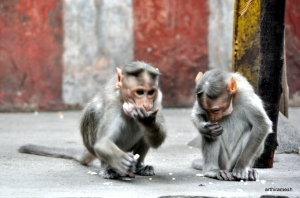 More monkeys at a temple in Madurai