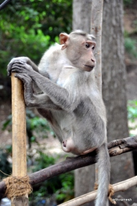 Another shot of a monkey that posed for me at a temple in madurai